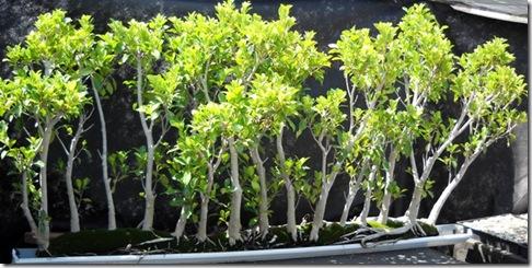 Ficus Tree Vertical Gardening